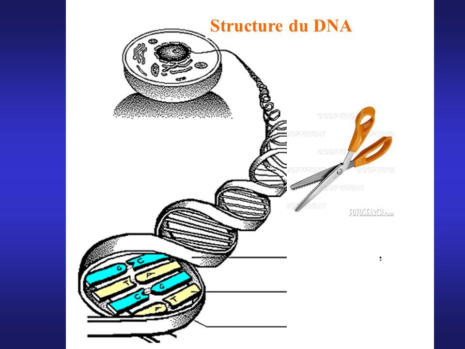 Structure du DNA