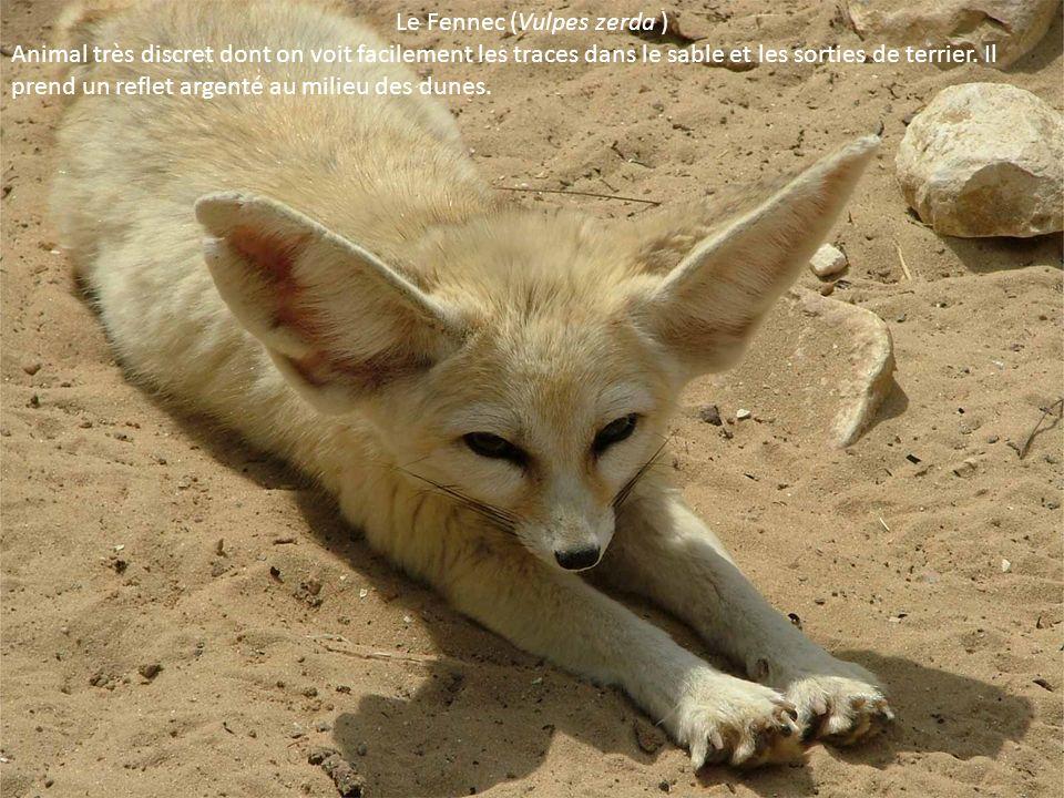 Le Fennec (Vulpes zerda )