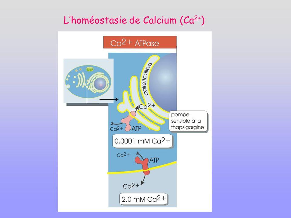 L'homéostasie de Calcium (Ca2+)