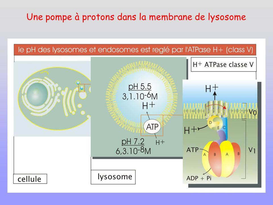 Une pompe à protons dans la membrane de lysosome