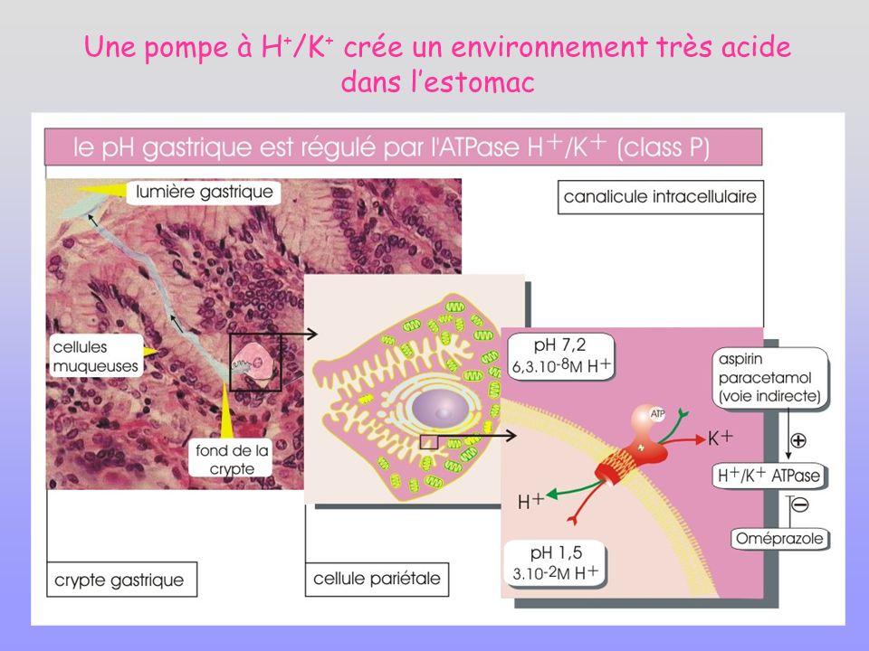 Une pompe à H+/K+ crée un environnement très acide dans l'estomac