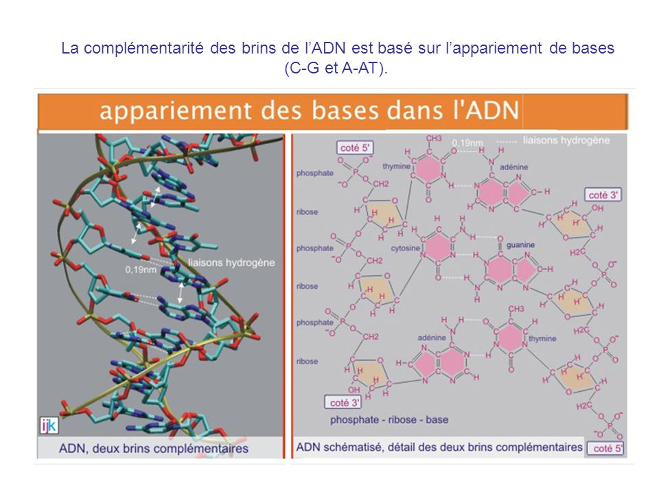La complémentarité des brins de l'ADN est basé sur l'appariement de bases