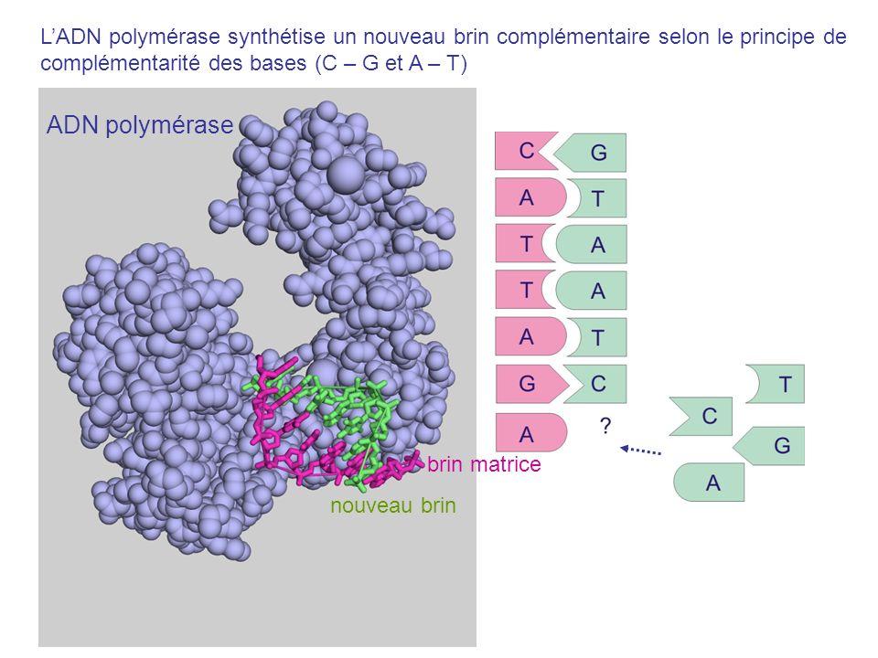 L'ADN polymérase synthétise un nouveau brin complémentaire selon le principe de complémentarité des bases (C – G et A – T)