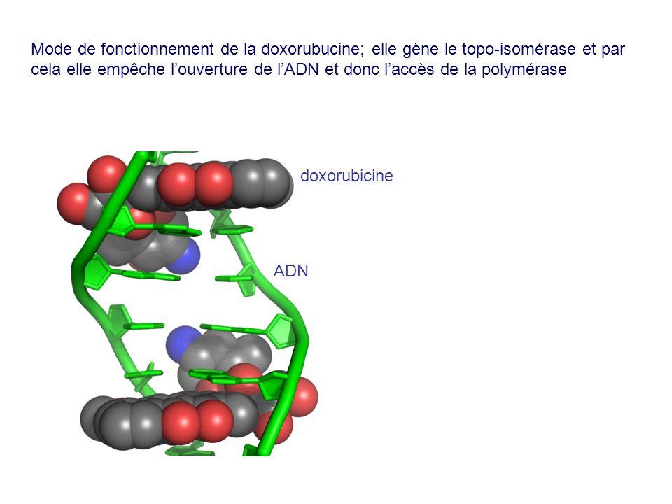 Mode de fonctionnement de la doxorubucine; elle gène le topo-isomérase et par cela elle empêche l'ouverture de l'ADN et donc l'accès de la polymérase