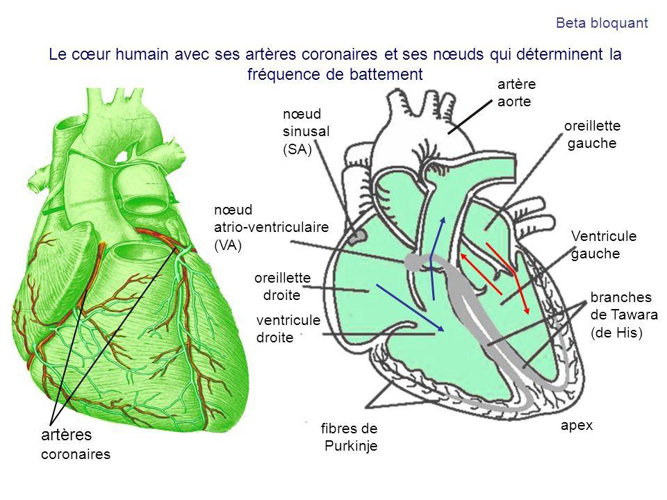 Beta bloquantLe cœur humain avec ses artères coronaires et ses nœuds qui déterminent la fréquence de battement.