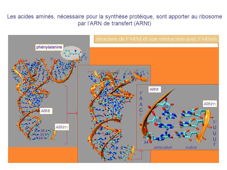par l'ARN de transfert (ARNt)