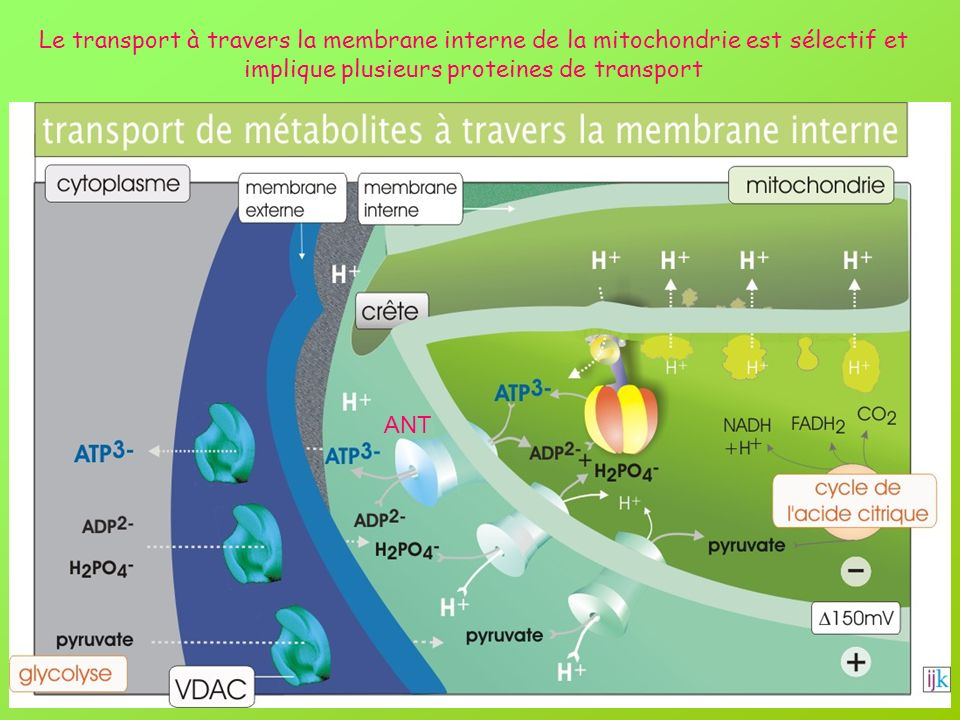Le transport à travers la membrane interne de la mitochondrie est sélectif et implique plusieurs proteines de transport