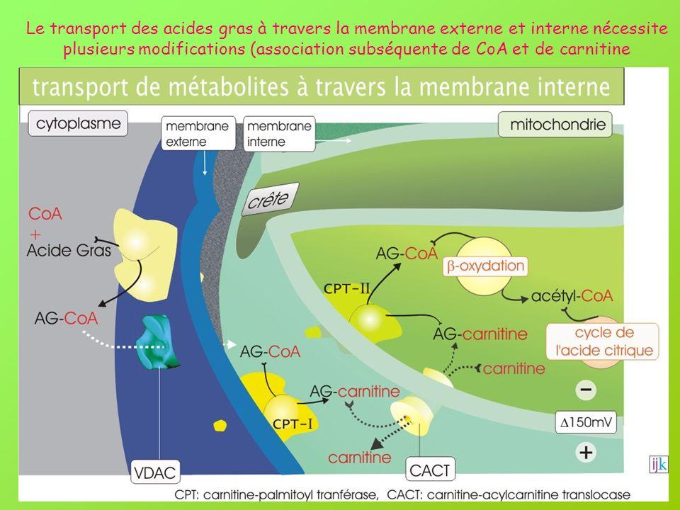 Le transport des acides gras à travers la membrane externe et interne nécessite plusieurs modifications (association subséquente de CoA et de carnitine
