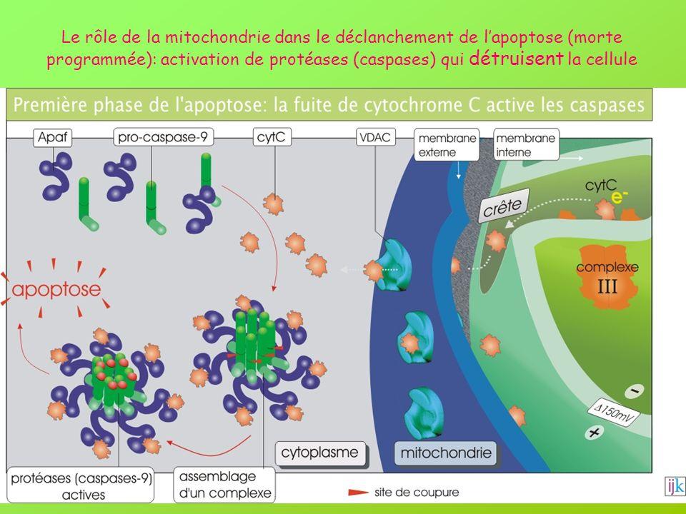 Le rôle de la mitochondrie dans le déclanchement de l'apoptose (morte programmée): activation de protéases (caspases) qui détruisent la cellule