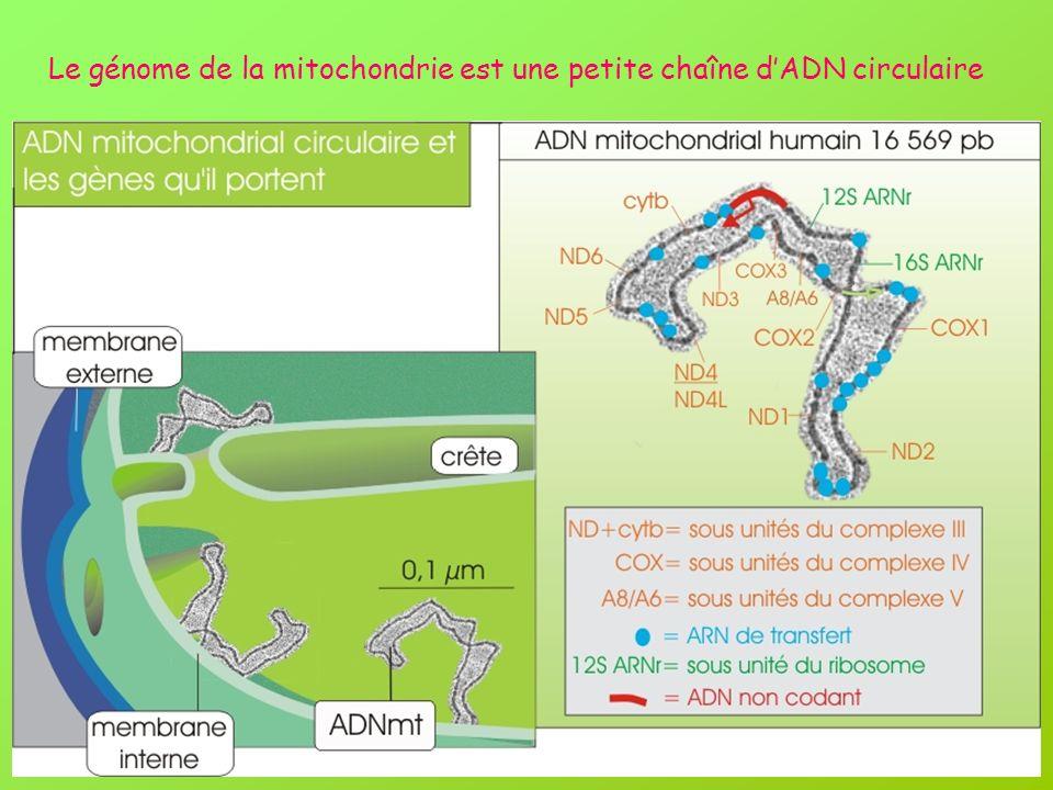 Le génome de la mitochondrie est une petite chaîne d'ADN circulaire