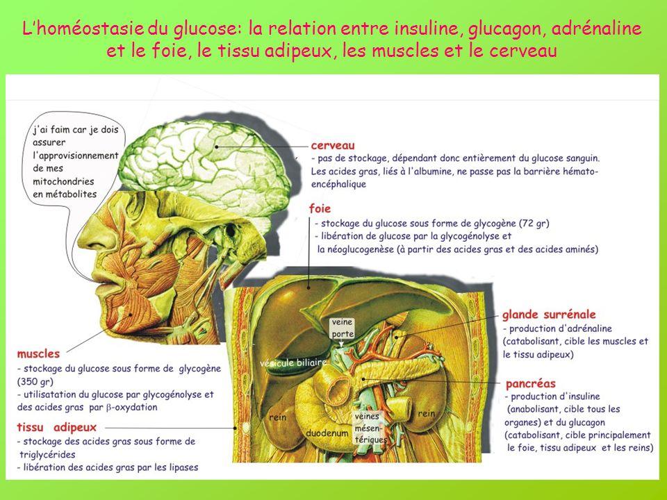 L'homéostasie du glucose: la relation entre insuline, glucagon, adrénaline et le foie, le tissu adipeux, les muscles et le cerveau