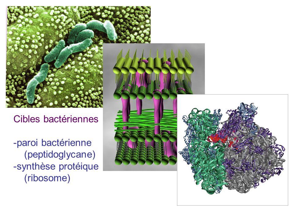Cibles bactériennes paroi bactérienne (peptidoglycane) synthèse protéique (ribosome)