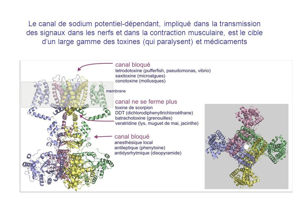 Le canal de sodium potentiel-dépendant, impliqué dans la transmission des signaux dans les nerfs et dans la contraction musculaire, est le cible d'un large gamme des toxines (qui paralysent) et médicaments