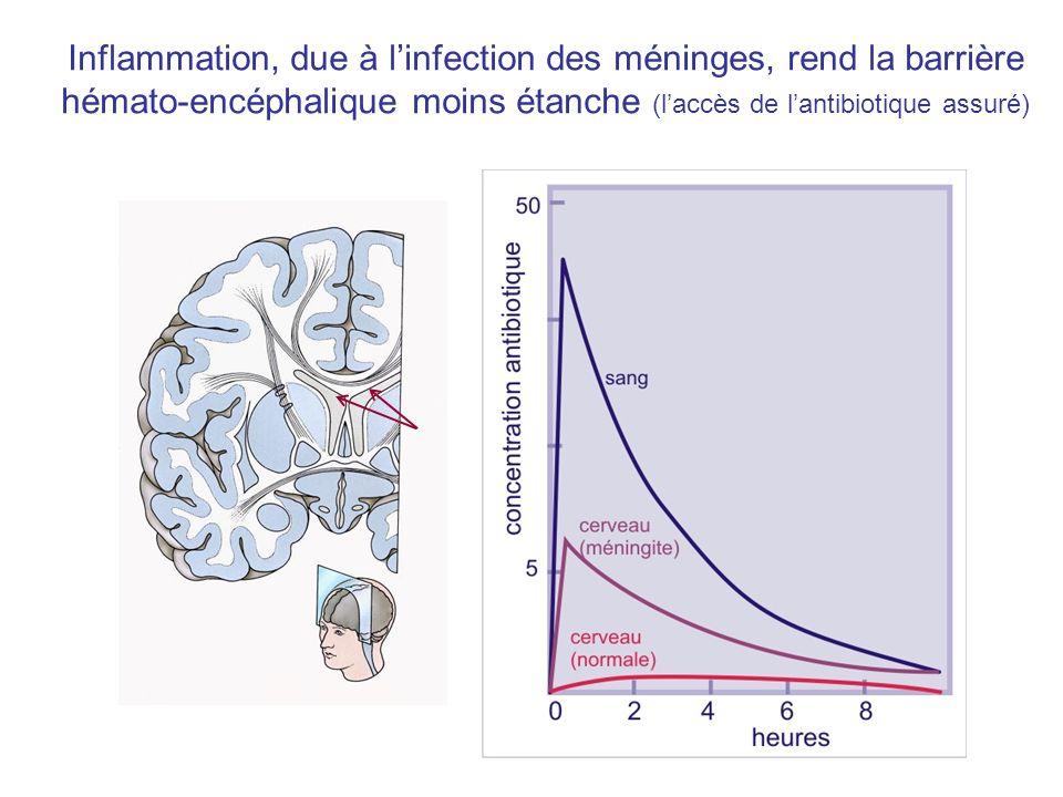 Inflammation, due à l'infection des méninges, rend la barrière hémato-encéphalique moins étanche (l'accès de l'antibiotique assuré)
