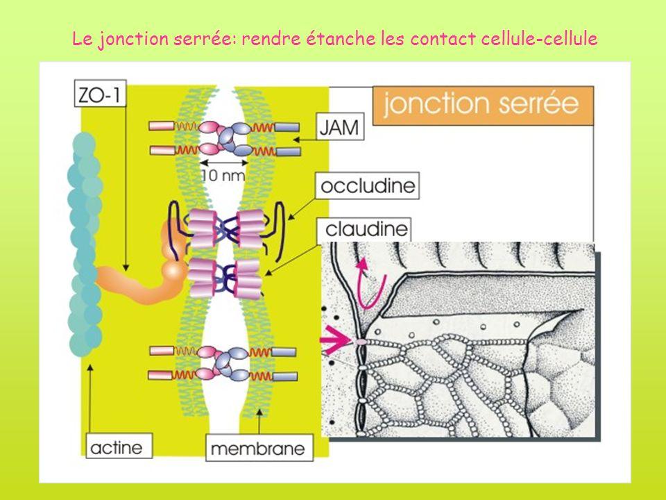 Le jonction serrée: rendre étanche les contact cellule-cellule