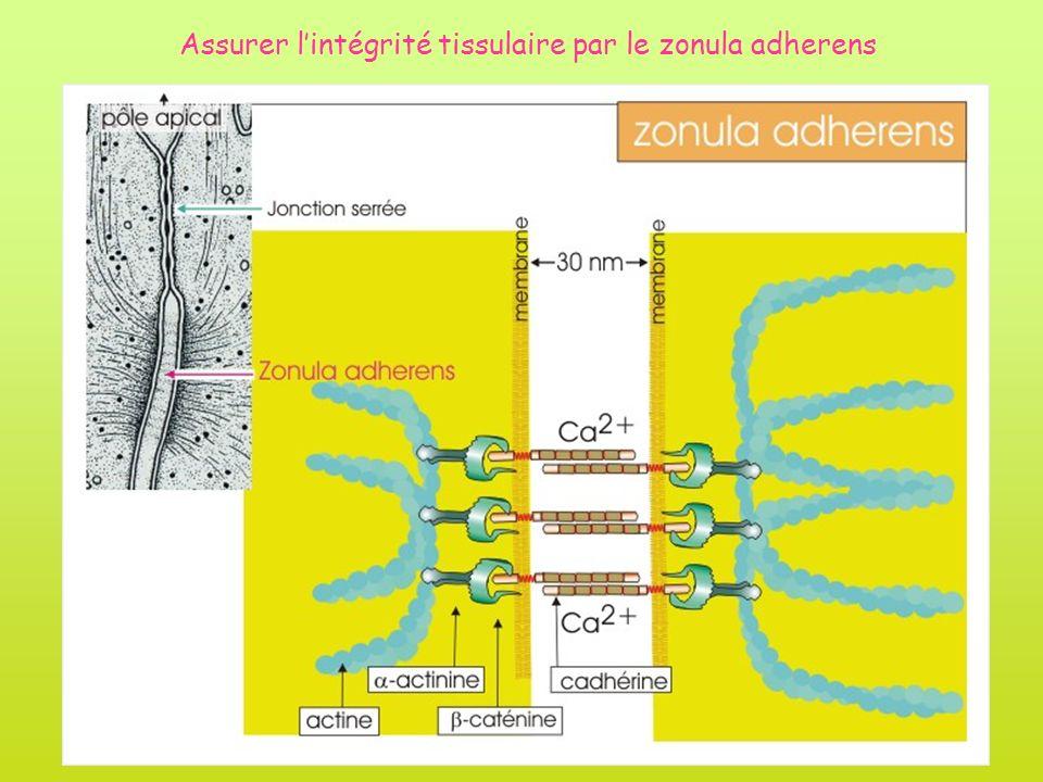 Assurer l'intégrité tissulaire par le zonula adherens