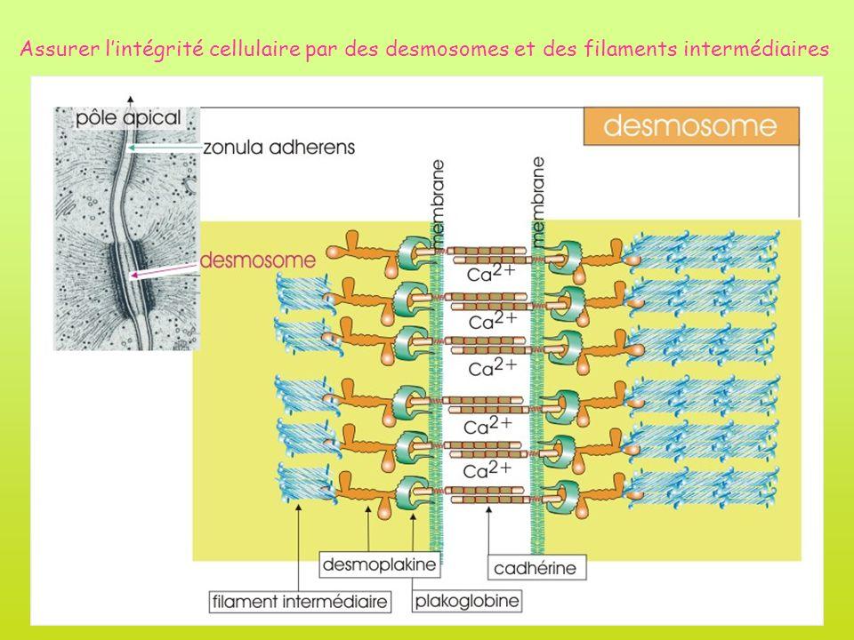Assurer l'intégrité cellulaire par des desmosomes et des filaments intermédiaires