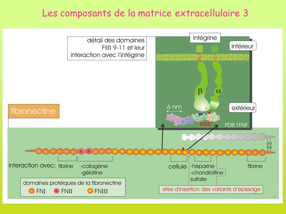 Les composants de la matrice extracellulaire 3