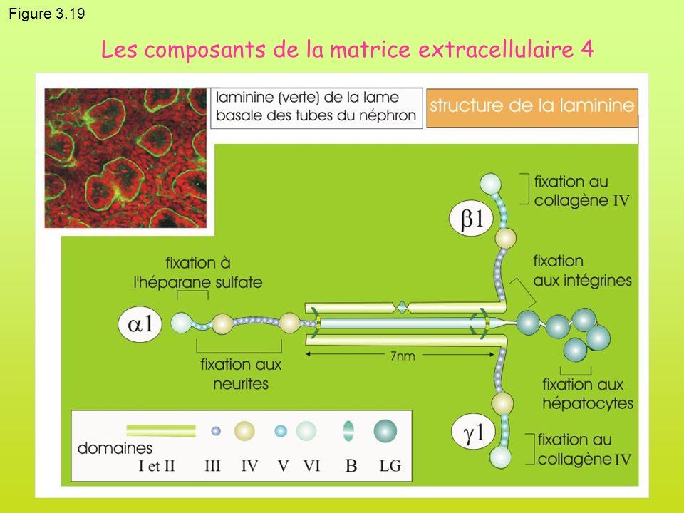 Les composants de la matrice extracellulaire 4
