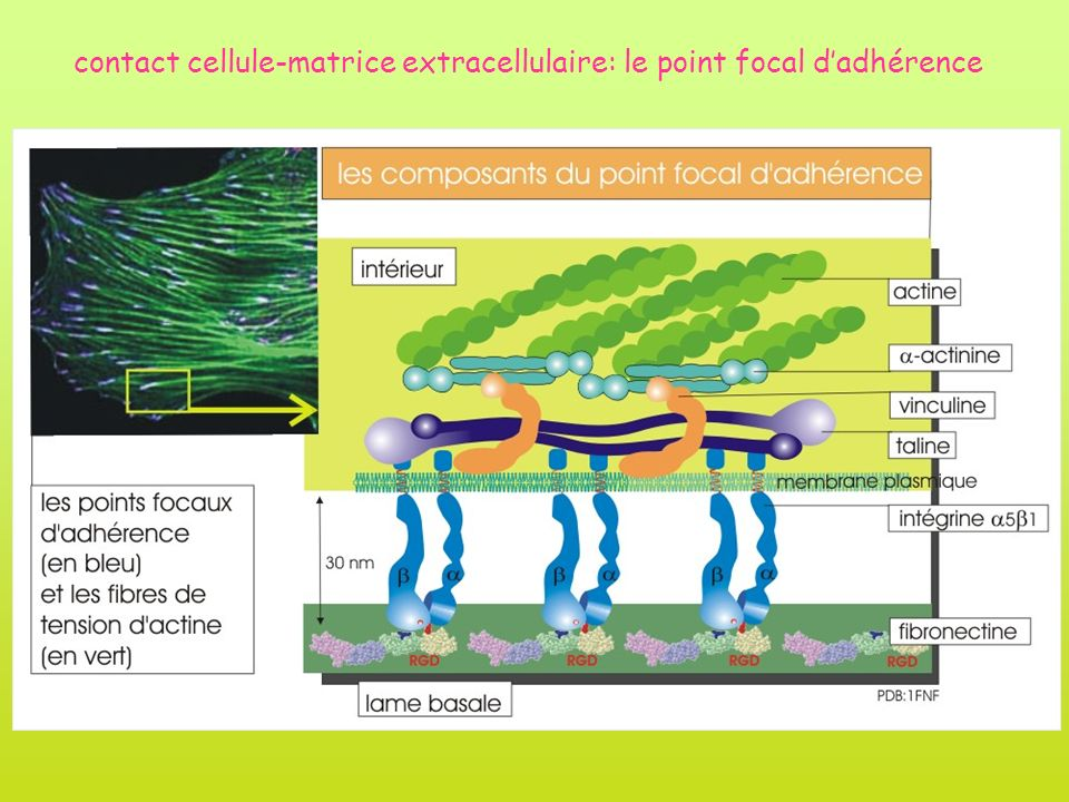 contact cellule-matrice extracellulaire: le point focal d'adhérence