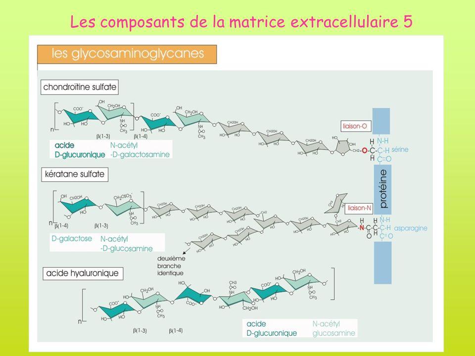 Les composants de la matrice extracellulaire 5