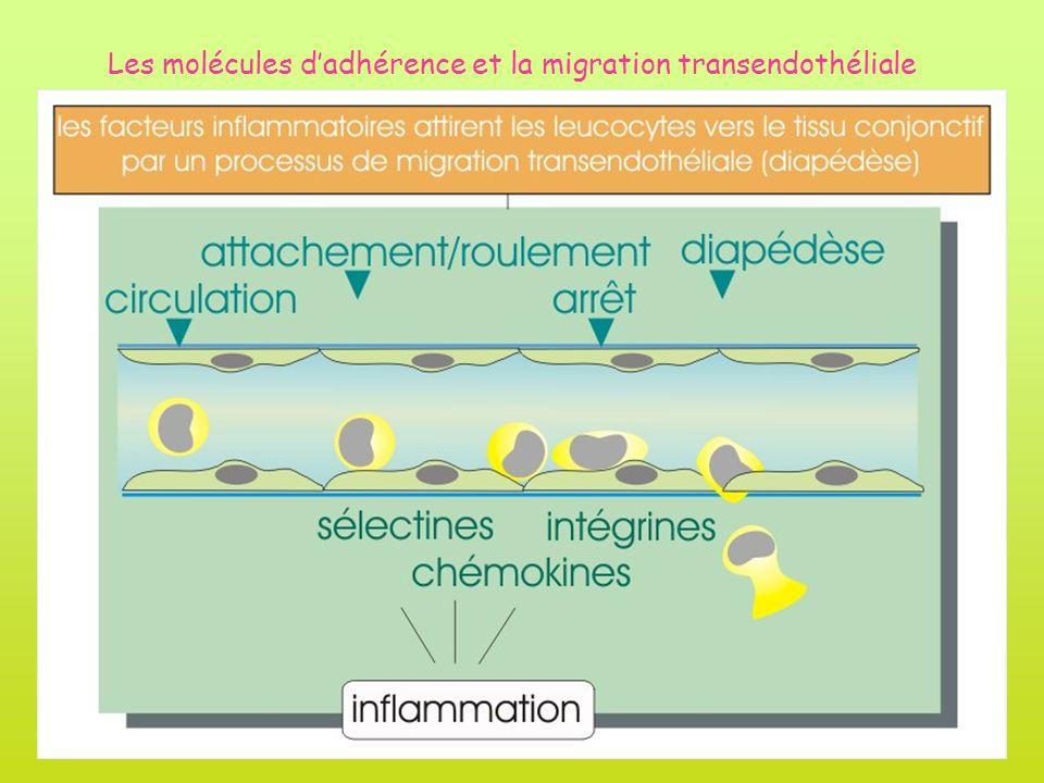 Les molécules d'adhérence et la migration transendothéliale