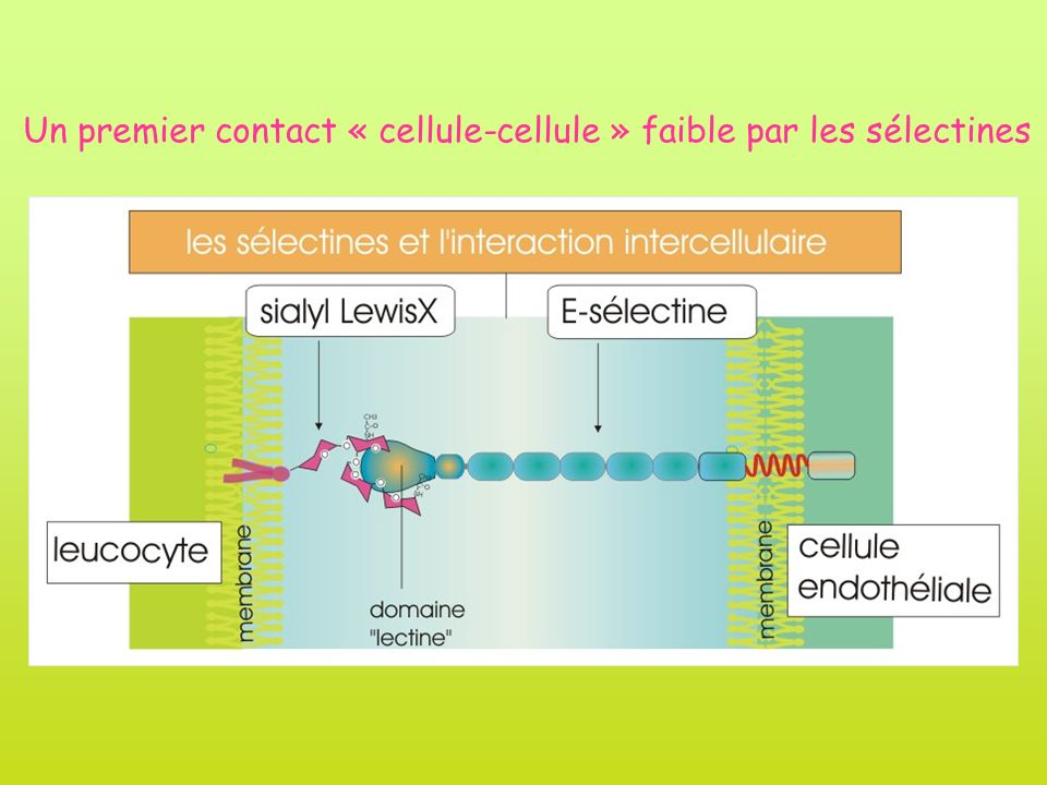 Un premier contact « cellule-cellule » faible par les sélectines