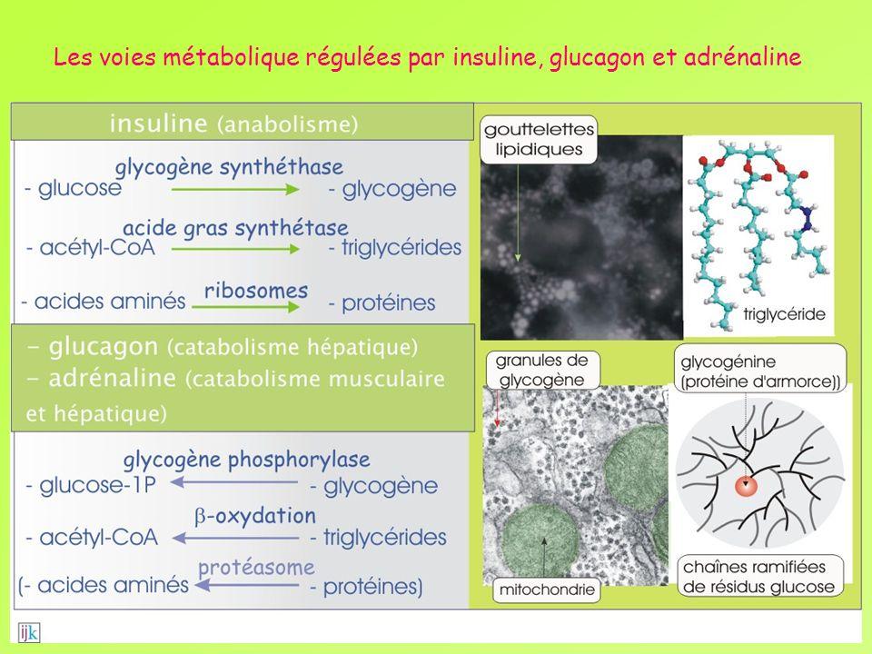 Les voies métabolique régulées par insuline, glucagon et adrénaline
