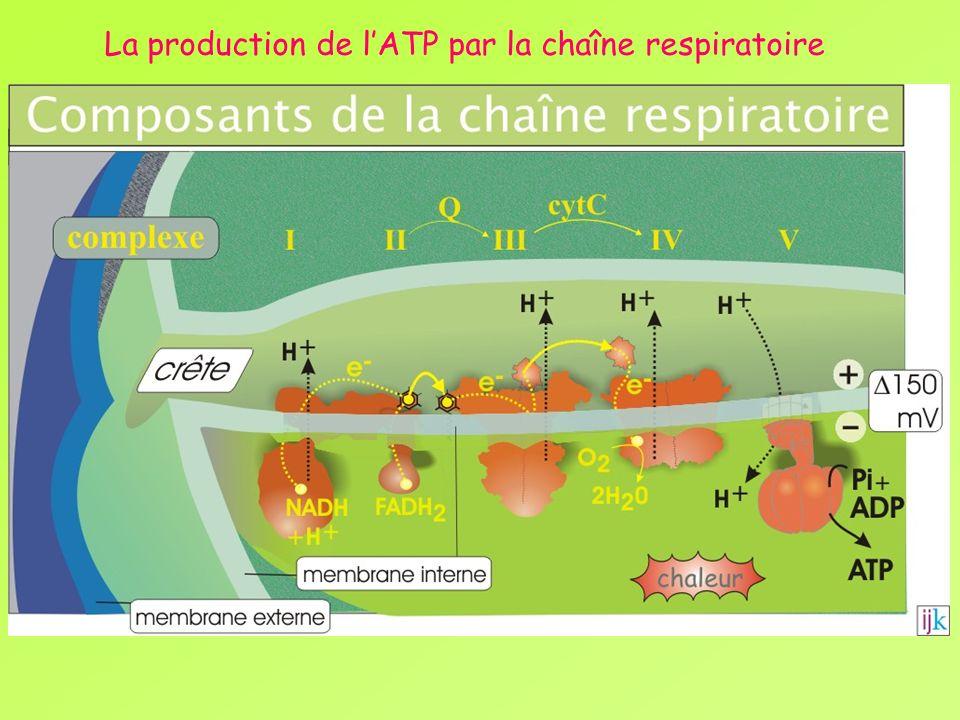 La production de l'ATP par la chaîne respiratoire