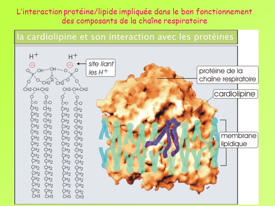 L'interaction protéine/lipide impliquée dans le bon fonctionnement des composants de la chaîne respiratoire