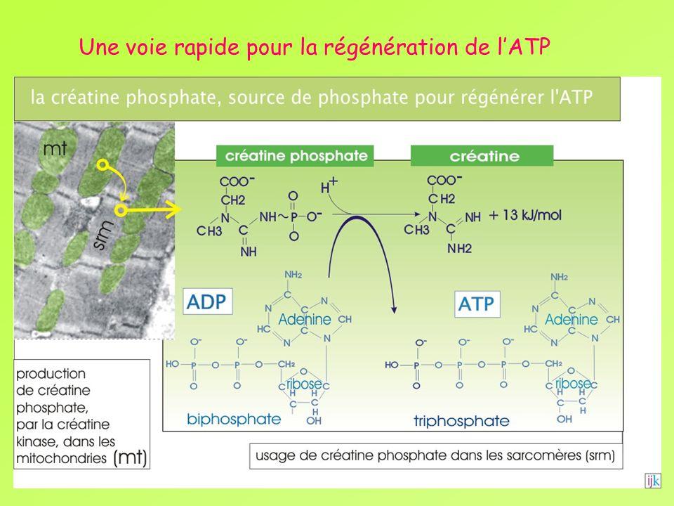 Une voie rapide pour la régénération de l'ATP