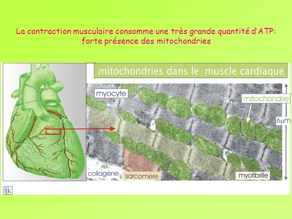 La contraction musculaire consomme une très grande quantité d'ATP: forte présence des mitochondries