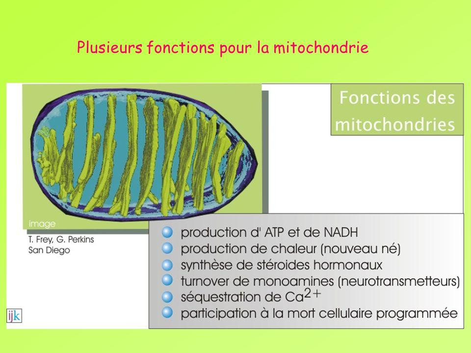 Plusieurs fonctions pour la mitochondrie