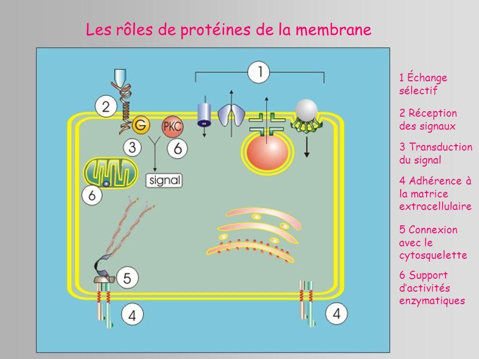 Les rôles de protéines de la membrane