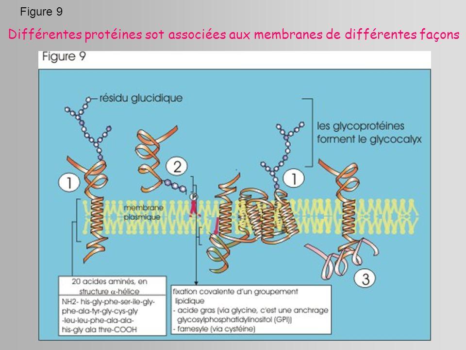 Figure 9 Différentes protéines sot associées aux membranes de différentes façons