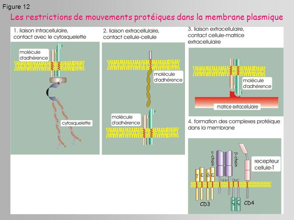 Les restrictions de mouvements protéiques dans la membrane plasmique