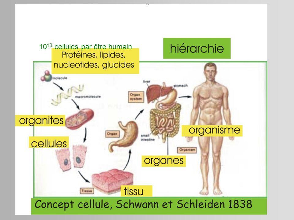 1013 cellules par être humain