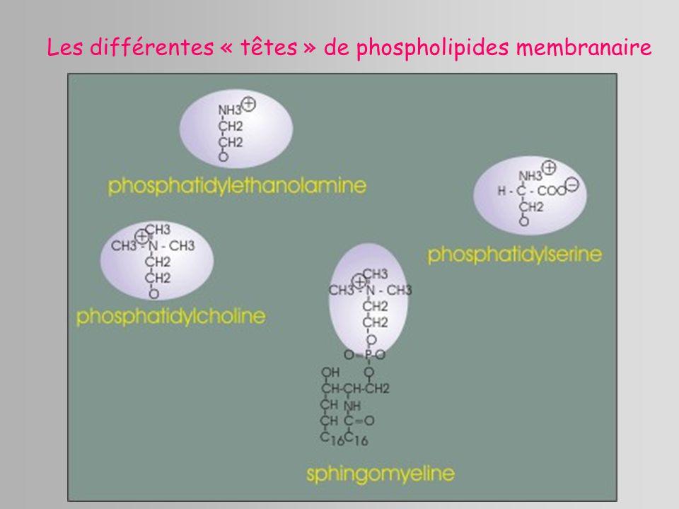Les différentes « têtes » de phospholipides membranaire
