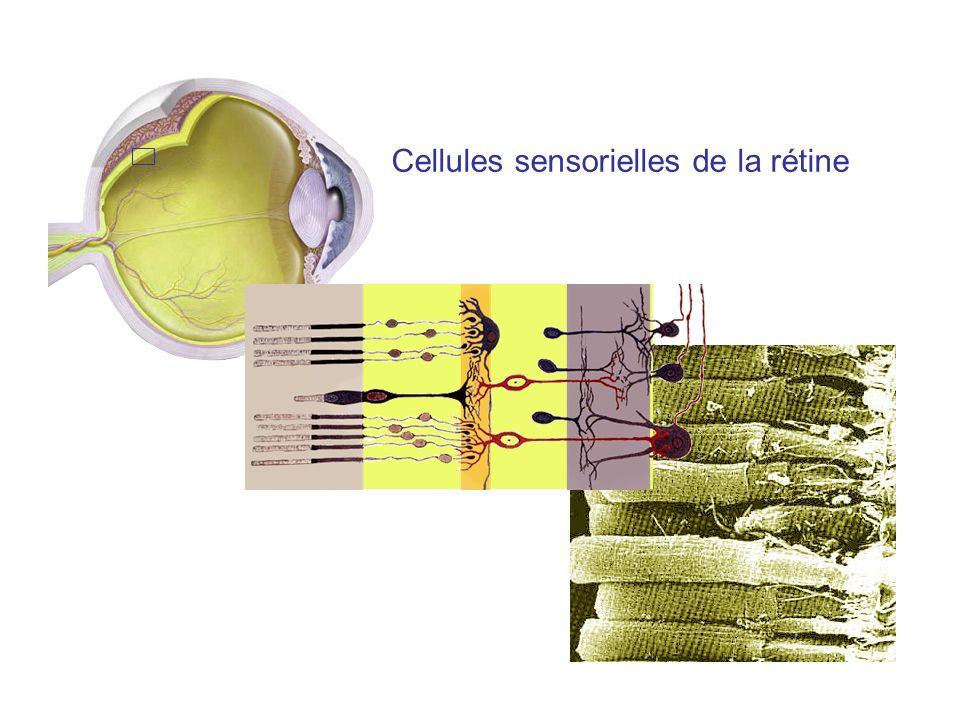 Cellules sensorielles de la rétine