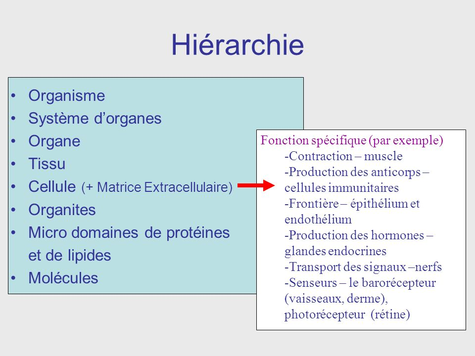 Hiérarchie Organisme Système d'organes Organe Tissu