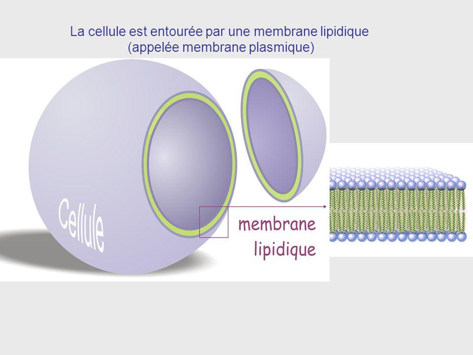 La cellule est entourée par une membrane lipidique