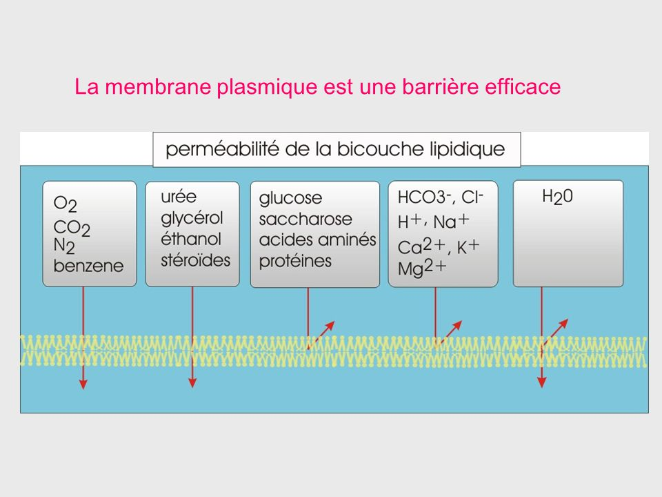 La membrane plasmique est une barrière efficace