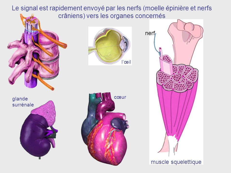 Le signal est rapidement envoyé par les nerfs (moelle épinière et nerfs crâniens) vers les organes concernés
