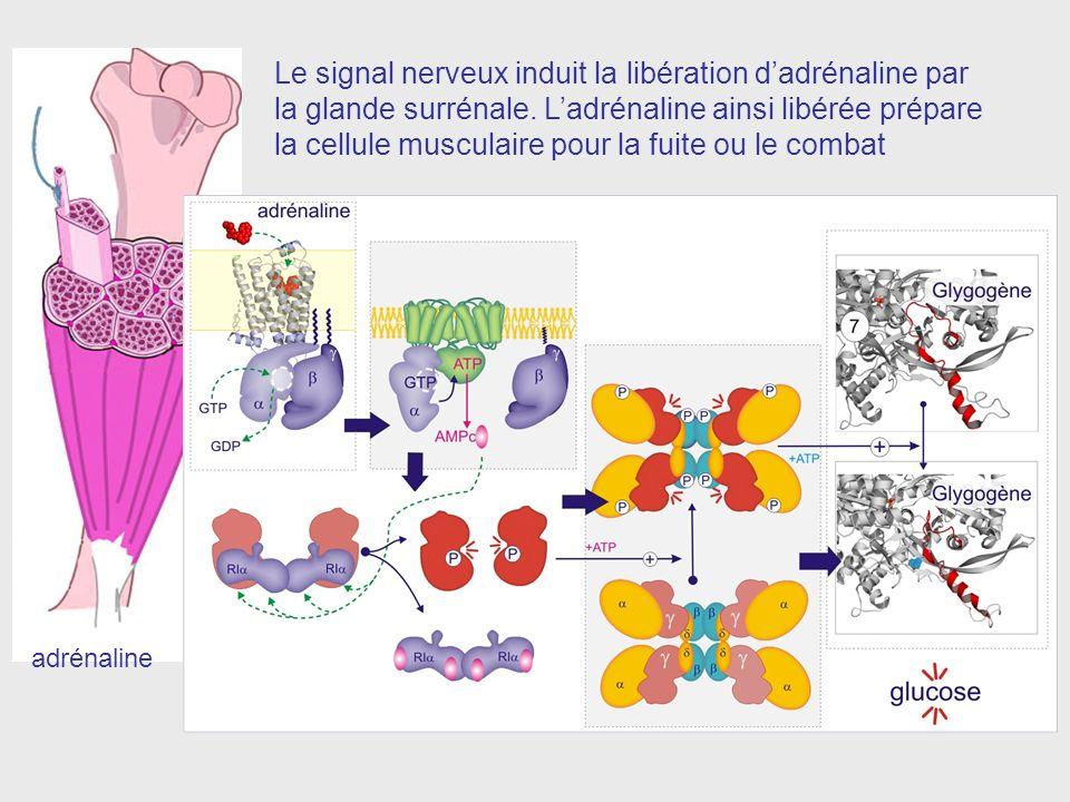 Le signal nerveux induit la libération d'adrénaline par la glande surrénale. L'adrénaline ainsi libérée prépare la cellule musculaire pour la fuite ou le combat