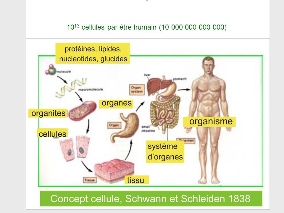 1013 cellules par être humain (10 000 000 000 000)