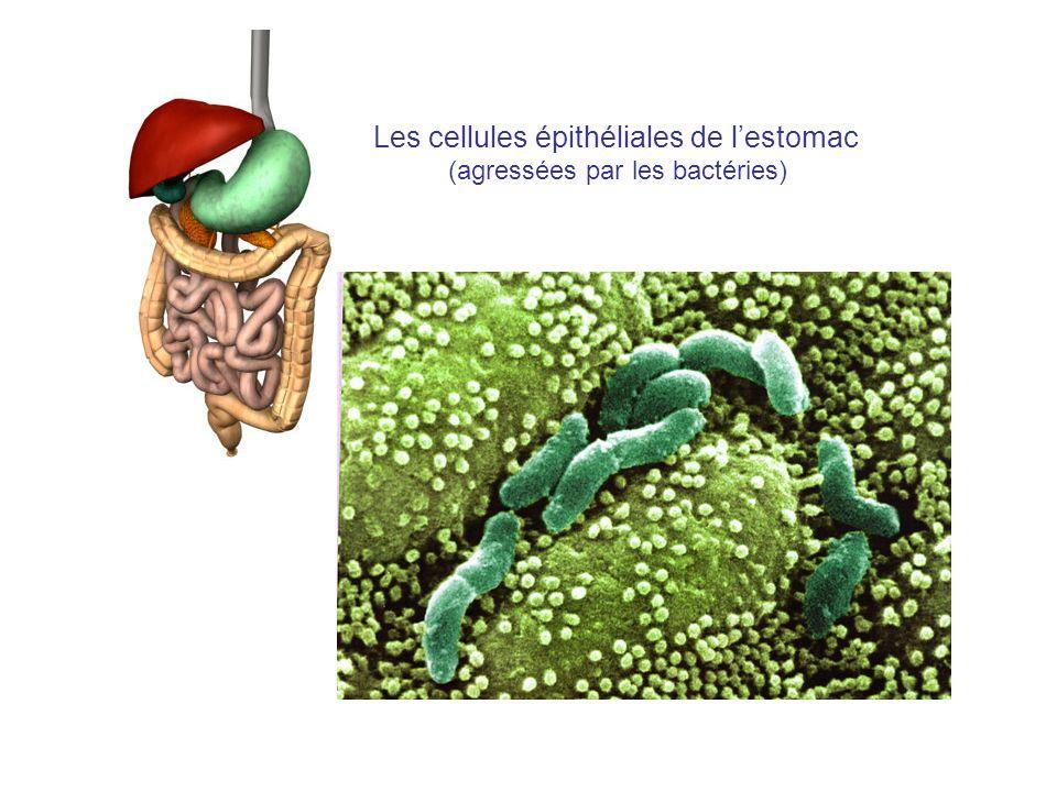 Les cellules épithéliales de l'estomac