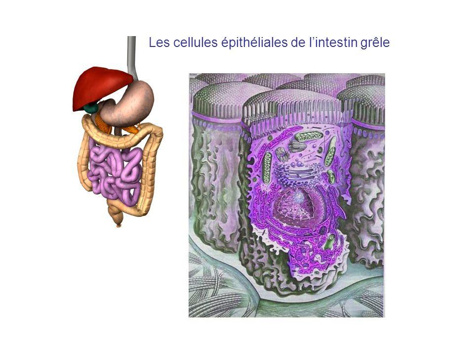 Les cellules épithéliales de l'intestin grêle
