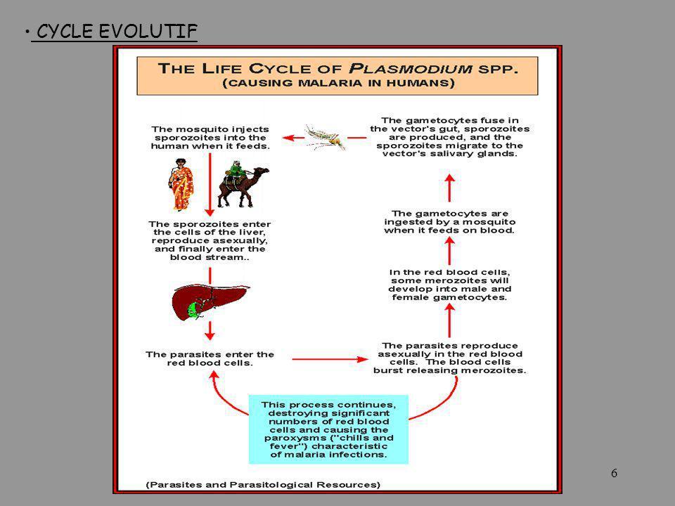 CYCLE EVOLUTIF