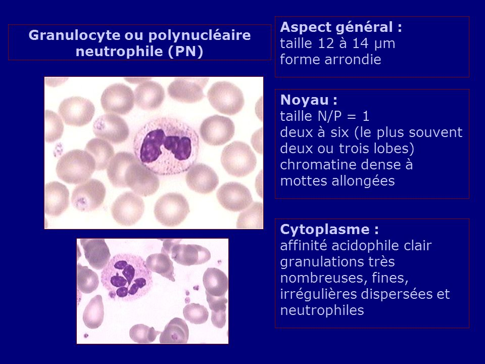 Granulocyte ou polynucléaire neutrophile (PN)
