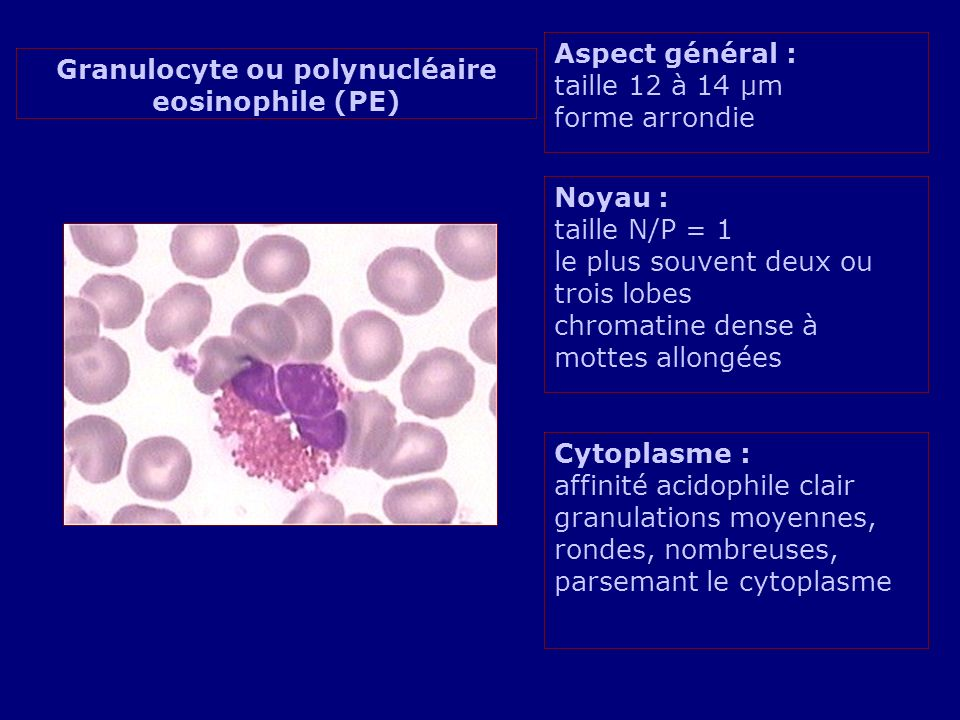 Granulocyte ou polynucléaire eosinophile (PE)